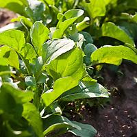 Arugula in a kitchen garden.