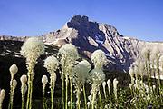 MT00117-00...MONTANA - Common beargrass (Xerophyllum tenax) along the Iceberg Lake Trail.