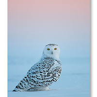 Snowy Owl on the snow photographed at eye level at sunset in Quebec, Canada.