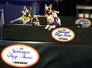 A group of dogs perform in the Jack Russell Hurdle Racing Demonstration during the National Dog Show, Saturday, November 16, 2002, in Fort Washington, Pennsylvania. The show is scheduled to be broadcast Thanksgiving Day on NBC. (Photo by William Thomas Cain)