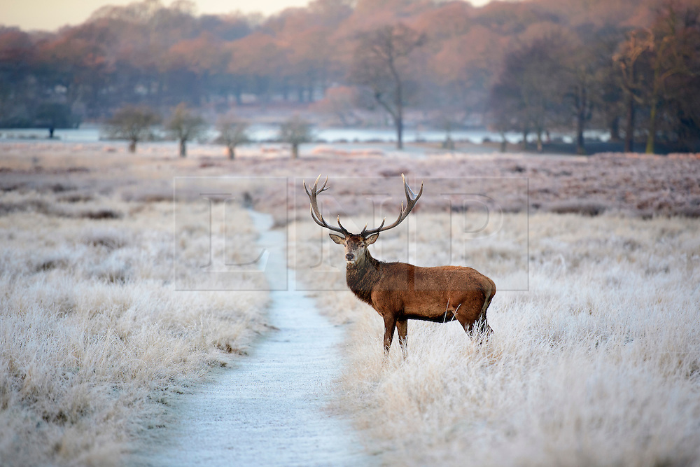 © Licensed to London News Pictures. 05/01/2017. London, UK. A deer stag seen grazing on a frozen landscape in Richmond Park, London as cold weather continues across the UK. Photo credit: Ben Cawthra/LNP