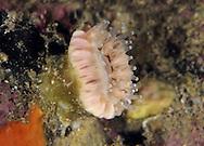 Devonshire Cup-coral - Caryophyllia smithii