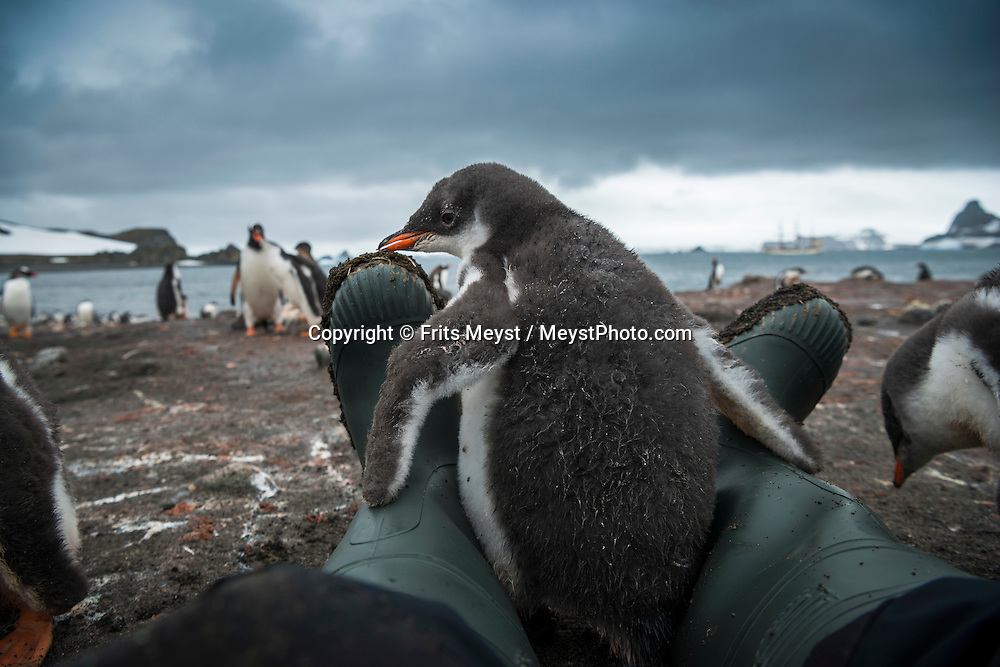Antarctica, February 2016. Gentoo Penguin Colony. The first landing on the South Shetland Islands, on the beach of Barrientos Island between of hundreds of Gentoo and Chinstrap penguins. Dutch Tallship, Bark Europa, explores Antarctica during a 25 day sailing expedition. Photo by Frits Meyst / MeystPhoto.com