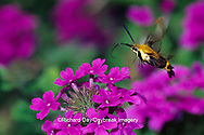 04005-001.13 Snowberry Clearwing (Hemaris diffinis) on Homestead Purple Verbena (Verbena canadensis) Marion Co.  IL