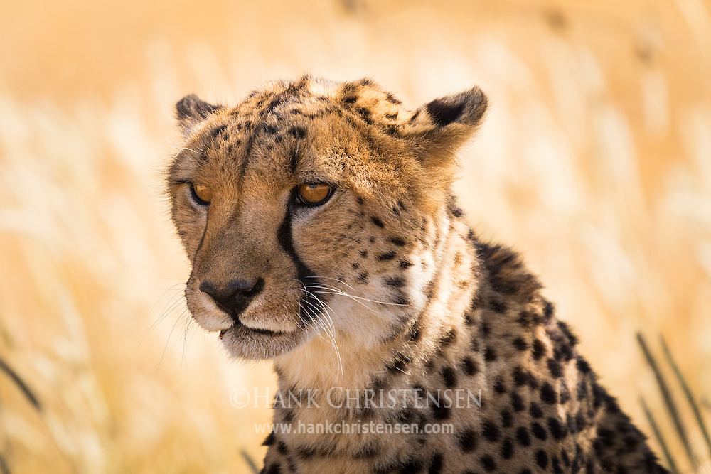 A cheetah rests in the shade at the Cheetah Conservation Fund headquarters in Namibia.  The CCF has as its mission to be the world's resource charged with protecting the cheetahs and ultimately ensuring its future.