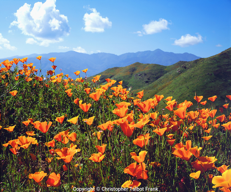 I wanted to show the layers of a California Poppy hillside by contrasting the bright orange, green, and blue colors in this exceptional landscape photo.