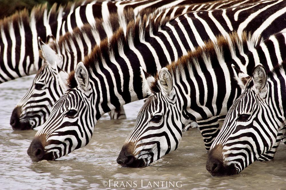 Zebras drinking, Equus quagga, Masai Mara National Reserve, Kenya