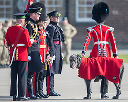 LONDON - UK - 17th Mar -2016: HRH The Duke of Cambridge, Royal Colonel of the 1st Battalion Irish Guards attends the annual St Patrick's Day Parade at the barracks in West London. Prince William takes the salute and presents Shamrocks to serving soldiers. After the parade Prince William posed for the regimental photograph.<br /> <br /> Pic shows, The Regimental Mascot, an Irish Wolfhound, Domhnall.<br /> Photograph by Ian Jones