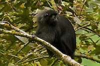 Black Colobus (Colobus satanus satanus) monkey.  Endangered Species (IUCN Red List: EN).<br /> Bioko Island, Equatorial Guinea.