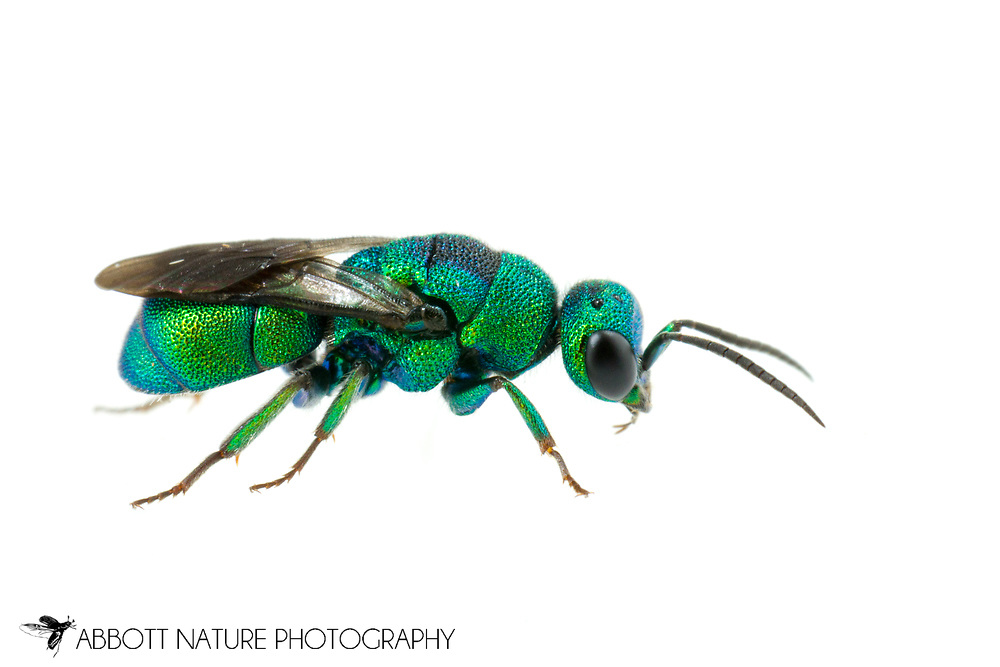 Cuckoo Wasp (Hedychrum sp.)<br /> United States: Alabama: Tuscaloosa Co.<br /> Tulip Tree Springs off Echola Rd.; Elrod<br /> 20-Jun-2016<br /> J.C. Abbott #2835 &amp; K.K. Abbott