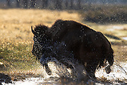 Buffalo running in through water in Grand Teton National Park