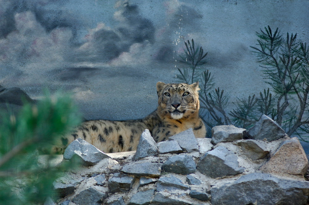 Snow Leopard (Panthera uncia), San Diego Zoo, San Diego, California, United States of America