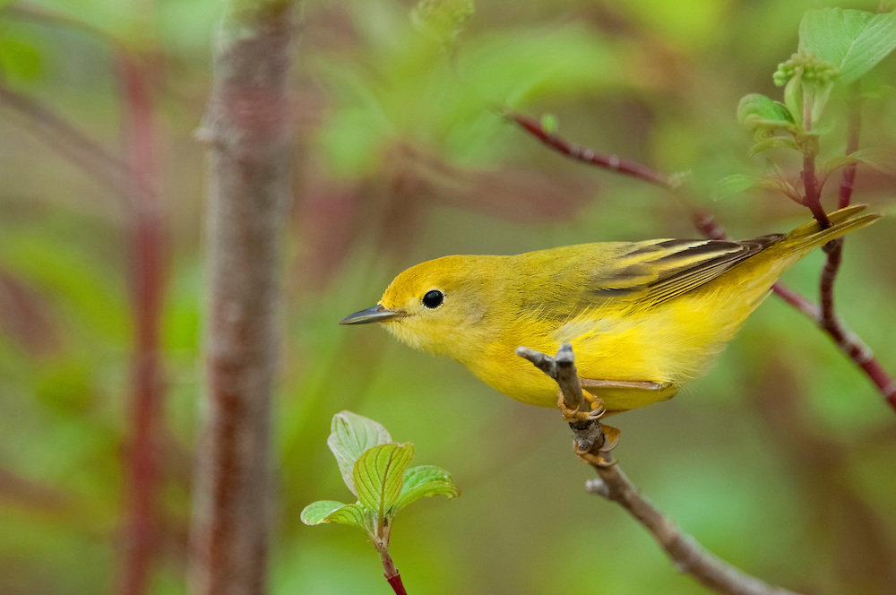Yellow Warbler, Setophaga petechia, female, Magee Marsh, Ohio