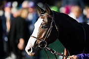 Longines Breeders' Cup Turf (Race 10) (Turf) <br /> November 3, 2018: Talismanic heads to the paddock on Breeders' Cup World Championship Saturday at Churchill Downs on November 3, 2018 in Louisville, Kentucky.