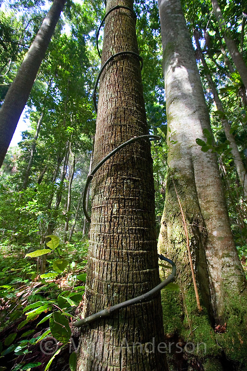 A vine climbing up a rainforest tree in the Royal National Park, Sydney, Australia