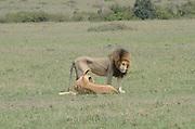 Kenya, Masai Mara, Lion's courtship and mating sequence