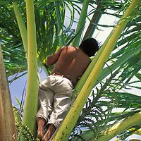 Hombre Warao sobre palma de moriche, Delta Amacuro, Venezuela