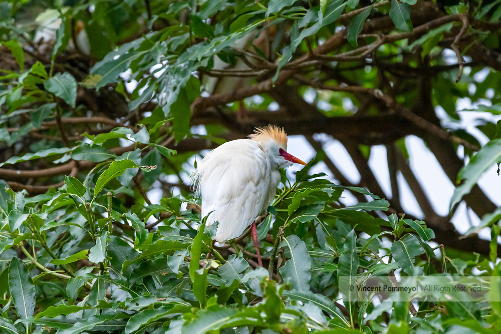 Cattle egret-Héron garde-boeufs<br /> (Bubulcus ibis) of South Africa.