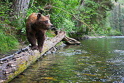 Grizzly bear fishes from a log in the Taku watershed, Northern B.C.