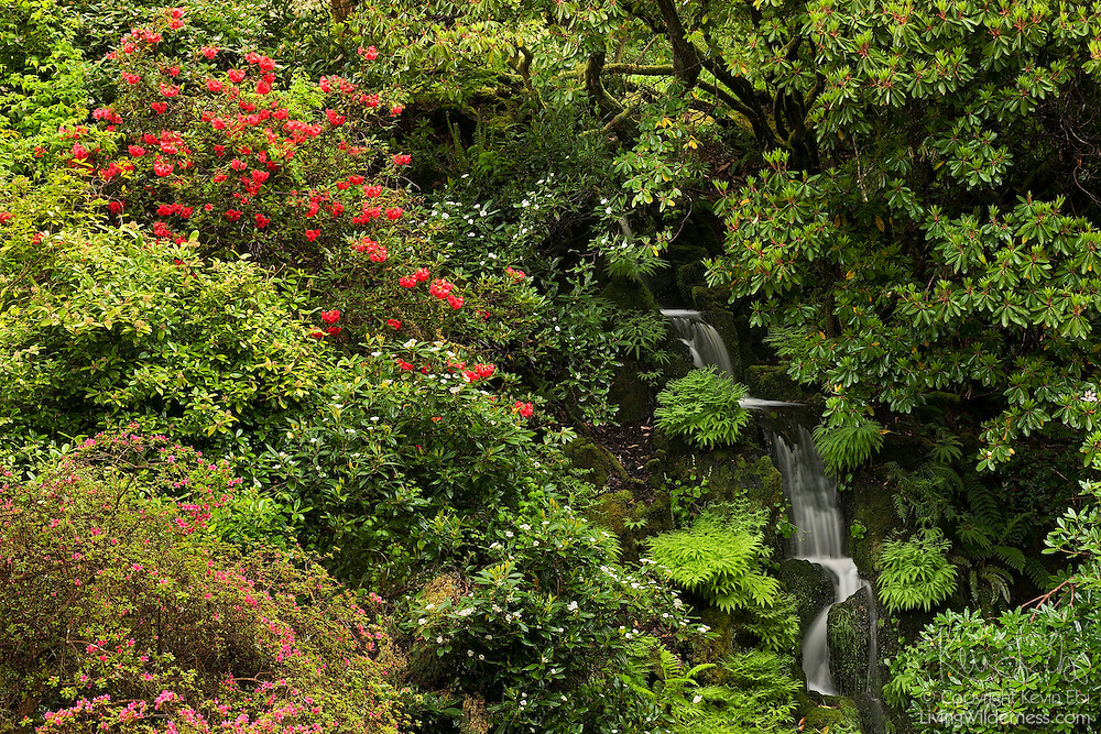 Colorful spring flowers frame a waterfall in the Rhododendron Glen in the Bloedel Reserve on Bainbridge Island, Washington. The public garden features dozens of rhododendron species.