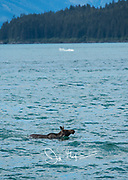 A moose swims across Endicott Arm fjord, Alaska.