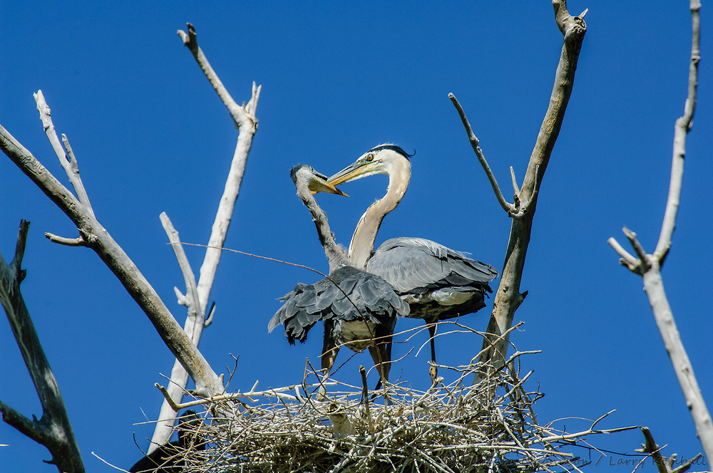Great Blue Heron [Ardea herodias] with young in nest, rookery; Holcim Wetland, Florence, Colorado