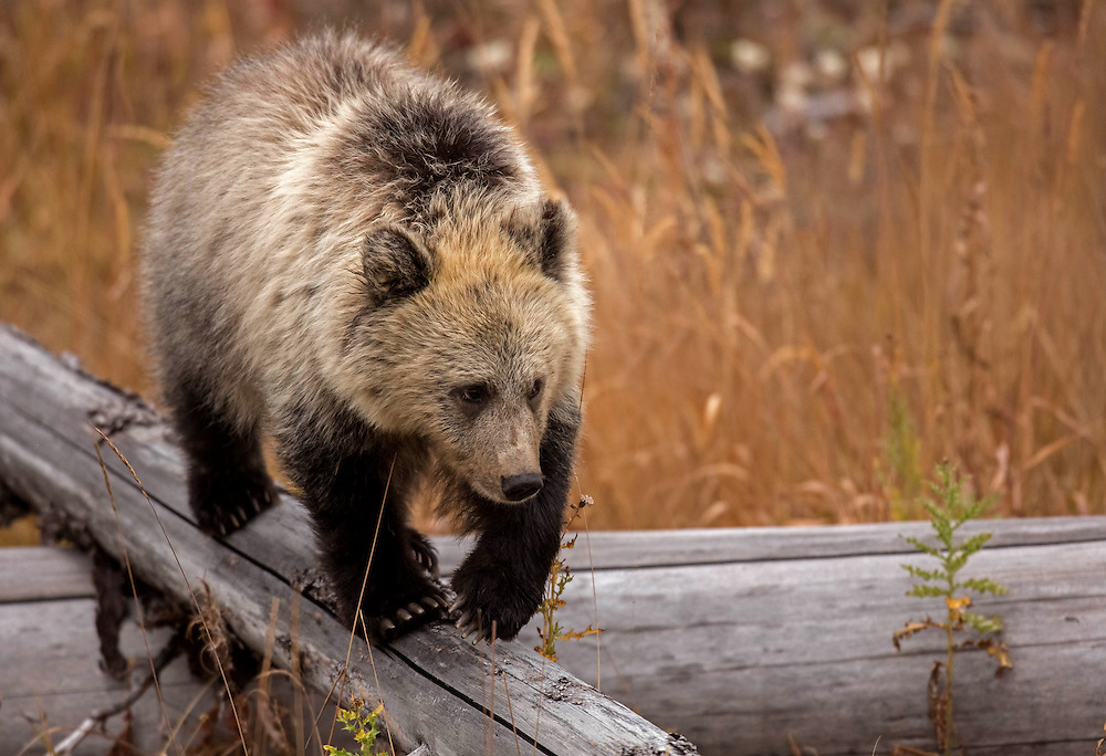 Playful and curious, grizzly bear cubs stay under their mother's care for up to three years.  Although mother grizzlies are fiercely protective of their young, more than half the cubs do not survive past their first year, falling to disease, starvation, and predators, including,  adult male grizzlies.