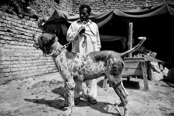 """Batearh, a gull-ter of 11 years old, and his """"father"""" Tariq, 45 years, in the courtyard of the house. The dog is a type of mastiff, he is seven times regional champion. Suburbs in Rawalpindi, Pakistan, on thursday, August 28 2008.....According to the Islamic tradition, angels do not enter a house which contains dogs. Even if they are considered """"ritually unclean"""" by the jurists, the fighting dogs of Pakistan are tolerated by institutions and by believers alike. These mastiffs are grown and trained explicitly for these matches. Spectators in this area flock-in from nearby villages whenever a famous dog is scheduled to enter the arena. And this is more than just a show: entire families base their social esteem on the results of such bloody confrontations."""