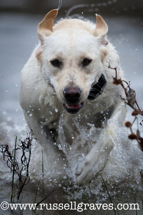 YELLOW LABRADOR RETRIEVER RUNNING THROUGH THE WATER