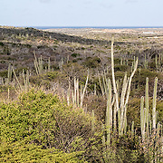 There are very few large trees left on Bonaire where the arid landscape is dominated by candle cactus and shrubs. Many conservationists think the present landcape looks very different than it did centuries ago both because of large-scale deforestation for charcoal and because herbivory by invasive mammals has kept trees from growing back. This harsh, dry landscape does not provide much food for the yellow-shouldered amazon parrots, so they are increasingly visiting urban areas where homeowners plant fruit trees.