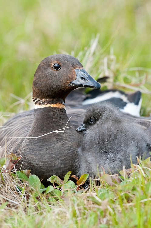 Black Brant; Branta bernicla nigricans, female at nest with gosling, Yukon Delta NWR, Alaska