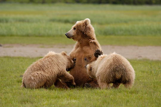 Alaskan Brown Bear (Ursus middendorffi) Mother nursing cubs. Katmai National Park. Alaska.
