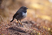 South Island Robin Pictures - Photos