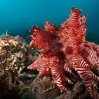 Candycane Sea Cucumber, Thelenota rubralineata, Sabah, Borneo, East Malaysia, South East Asia