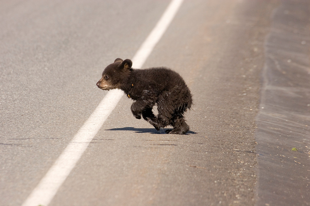 A black bear (Ursus americanus) cub runs across the road