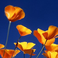 Close-up macro view of California poppies and blue sky on Table Mountain, Butte County, California.