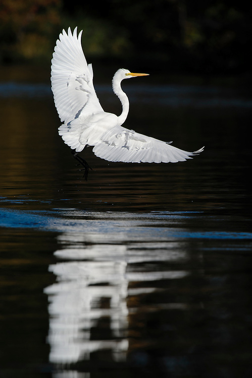 Great Egret (Ardea alba) landing at White Rock Lake, Dallas, Texas