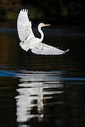 Great Egret (Ardea alba) landing at White Rock Lake, Dallas, Texas