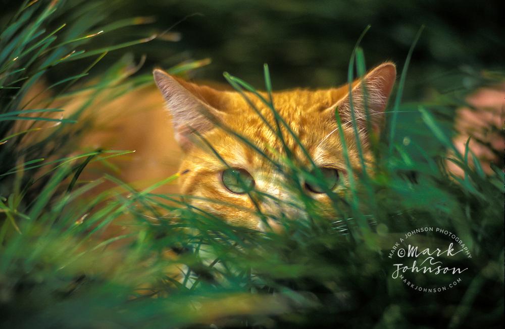 Tomcat hiding in grass