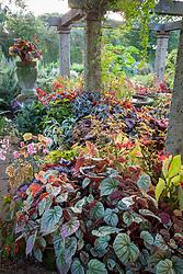 Species begonias growing under the pergola at John Massey's garden in autumn.