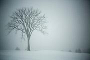 Elm Tree in Snow