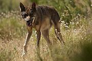 Iberian Wolves (c)