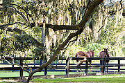 Horses rest under the Avenue of Oaks draped with spanish moss at Boone Hall Plantation in Mt Pleasant, South Carolina.