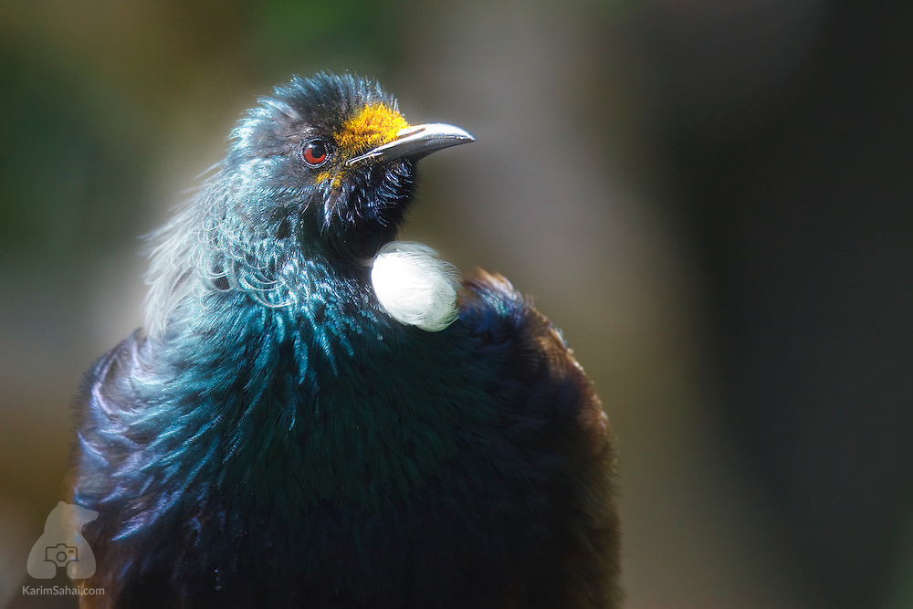 The Tui (Prosthemadera novaeseelandiae) is one of New Zealand's most territorial native birds. Tui will aggressively defend fruiting or flowering trees from which they feed and vigorously chase other birds away. In good light, tui have an iridescent blue-green plumage and distinctive white throat tufts. Recent research prove tui are amongst a small number of intelligent birds with a register of more than 300 songs, with some singing thousands. Their songs are a complex and loud mix of notes interspersed with grunts, wheezes and thumps.