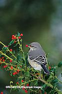 01395-01911 Northern Mockingbird (Mimus polyglottos) eating China Holly (Ilex cornuta) berry Marion Co.  IL