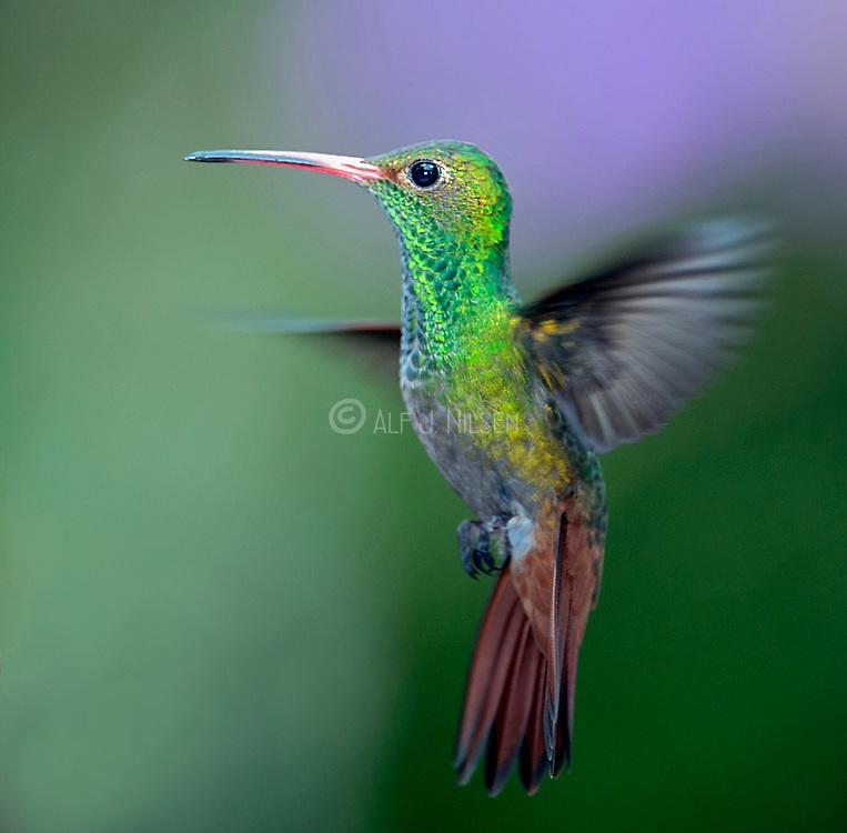 Rufous-tailed Hummingbird (Amazilia tzacatl) from Mindo, Ecuador.
