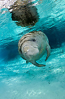 Florida manatee, Trichechus manatus latirostris, a subspecies of the West Indian manatee, endangered. January 27, 2012, a series of the documented adoption of a small female orphan manatee calf. Adoptive mother's well fed older female calf waits in the warm freshwater springs while mother is away with the orphan.  Vertical orientation with blue water and light rays. Three Sisters Springs, Crystal River National Wildlife Refuge, Kings Bay, Crystal River, Citrus County, Florida USA.