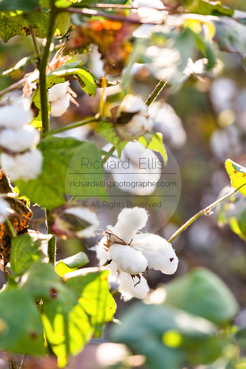 Cotton growing at Boone Hall Plantation in Mt Pleasant, South Carolina.