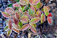 Frost on leaves, British Columbia, Canada