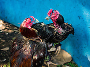 09 MARCH 2016 - BANGKOK, THAILAND:   Fighting cocks spar in a training bout in the Pom Mahakan community in Bangkok. The birds wore tiny muzzles and had their legs padded to prevent injury. The community of about 50 families was once known as the cockfighting center of Bangkok. Gambling is now prohibited by the military government and cockfighting is not as popular as it once was. Cockfights are still staged in clandestine pits in Bangkok but outside of Bangkok cockfights are common.    PHOTO BY JACK KURTZ